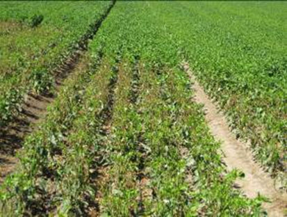Pepper plants following sprinkler application of Chateau: plants in the foreground and untreated plants in the background.